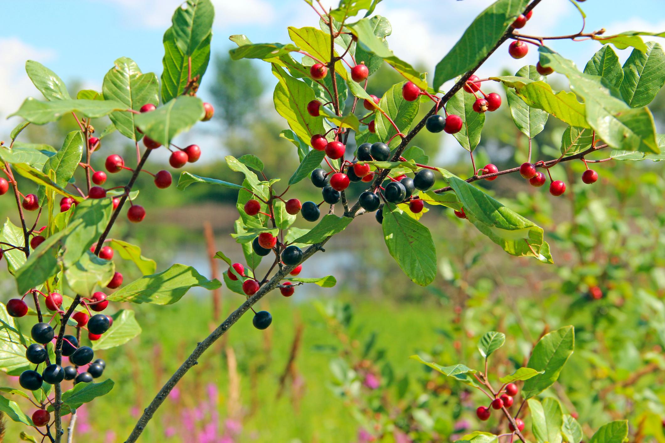 Wildgehölze für den Naturgarten   hausinfo