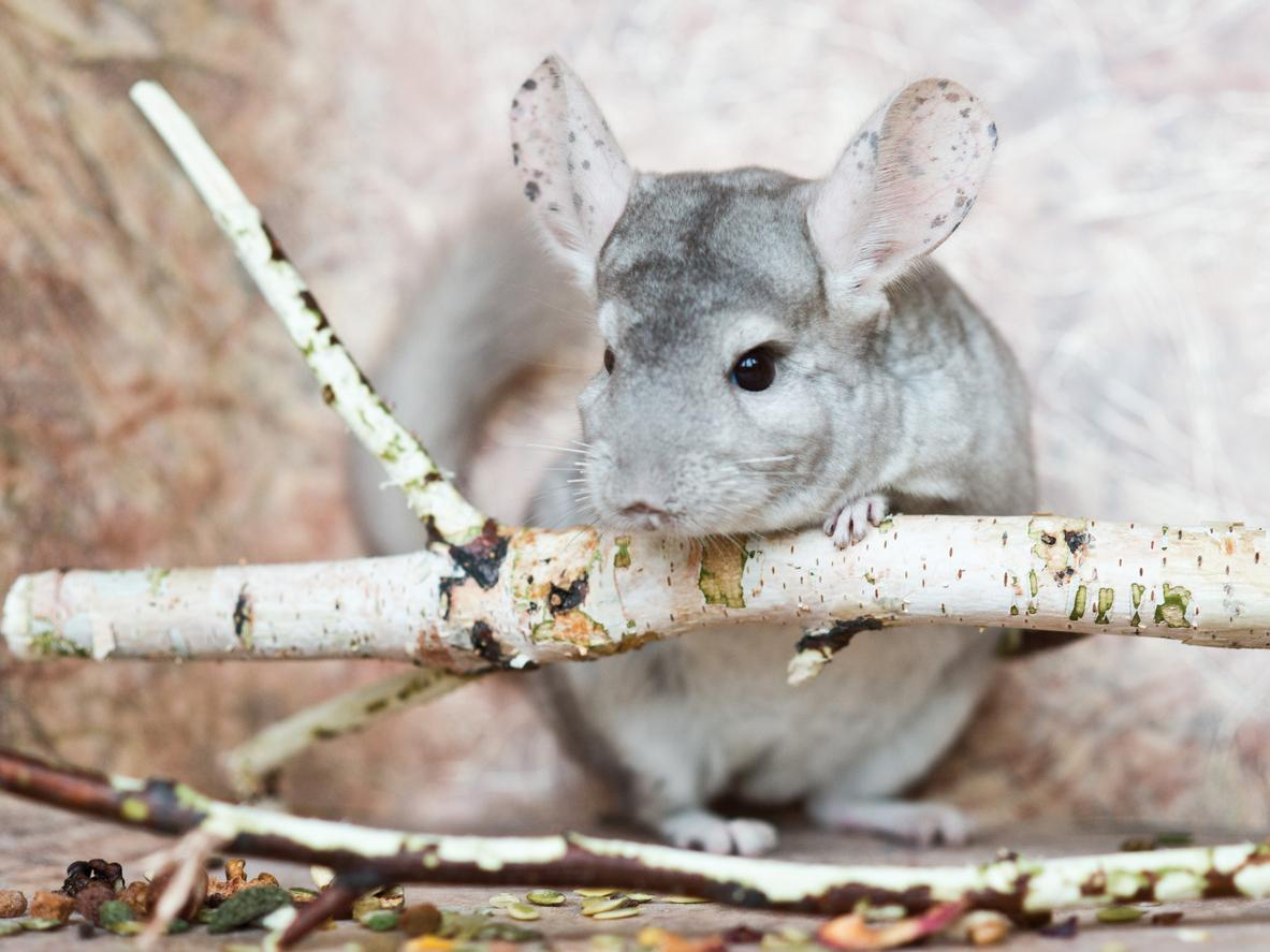 Chinchillas Haltung
